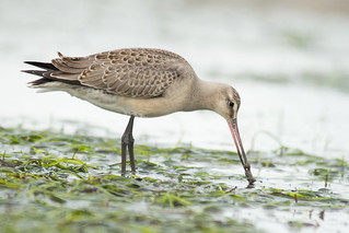 hudsonian-godwit-sharp-wormIMG_1473 | by Silverleapers