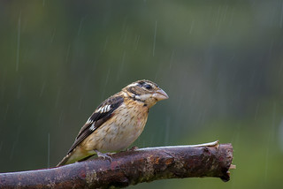 Northamerican Rose-breasted Grosbeak standing in the tropical rain | by PriscillaBurcher