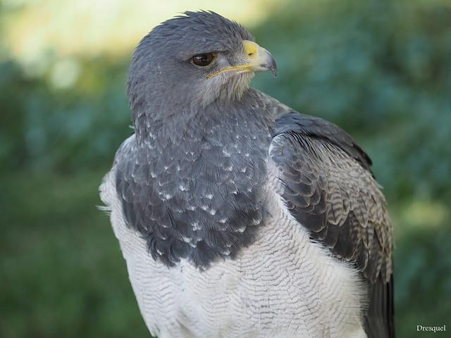 Aguila escudada ó mora ( Geranoaetus melanoleucus )