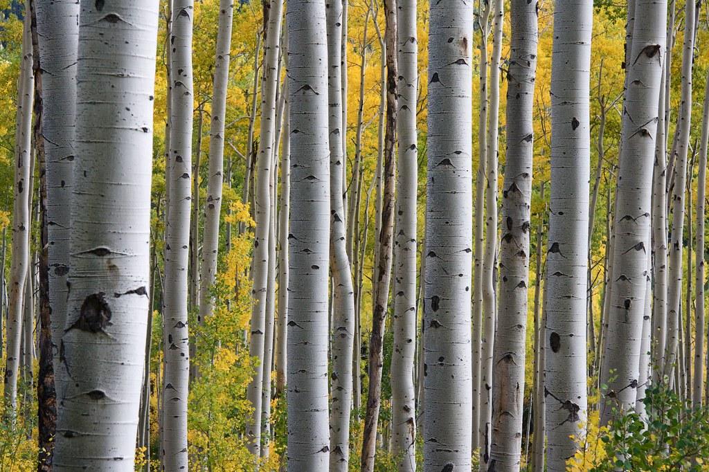 Birch Trees Background Texture