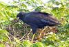Cangrejero Mayor, Great Black-Hawk (Buteogallus urubitinga) by Francisco Piedrahita