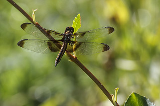 Libellula luctuosa Widow Skimmer f CA AUG IMG_8668 | by awells48