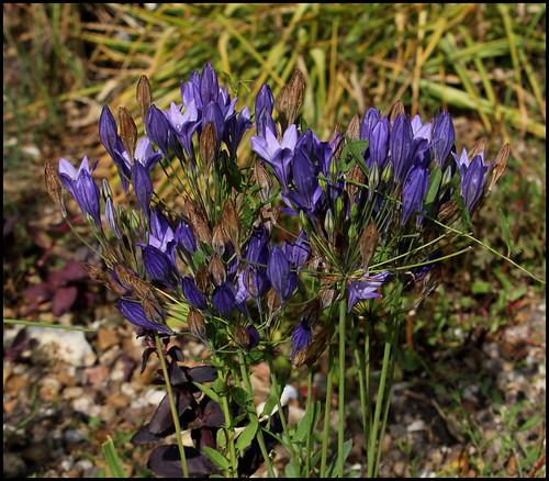 Triteleia laxa (= Brodiaea laxa)  21874234204_8e48d0b99d