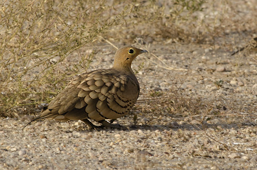 Chestnut-bellied Sandgrouse | by as_kannan