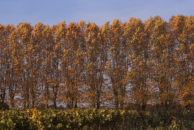 Autumn poplars and vines
