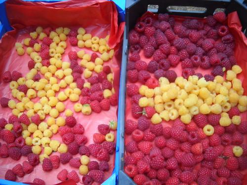 Sarah picking Samples Red & Gold Raspberries Nabeh El safa c Jun 12, 2015   by toutberryfarms