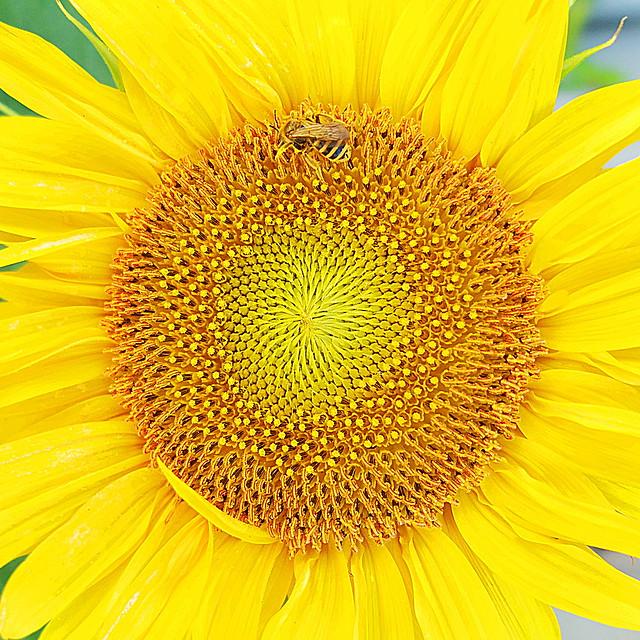 VAN GOGH: Sunflower