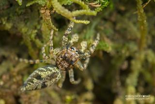 Jumping spider (Salticidae) - DSC_9680