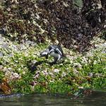 Mo, 02.11.15 - 12:29 - Pinguinera Islote de Piñihuil