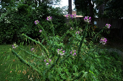cleomehassleriana spiderflower spiderflowers pink 2015 missouri ozarks purple butterflygarden nature lacledecounty lebanonmissouri lebanonmo outdoor flower plant landscaping nikond7000
