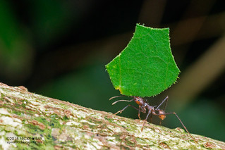 Leaf-cutter ant (Atta sp.) - DSC_9090