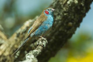 Red-cheeked Cordonblue - Nakuru - Kenya_S4E0113