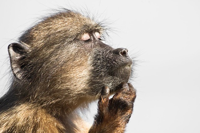 A baboon gets lost in his thoughts