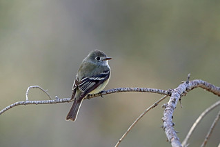 Hammond's Flycatcher, Angeles National Forest, Los Angeles, California | by Terathopius