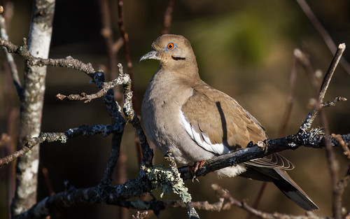 White-winged Dove | by Fyn Kynd