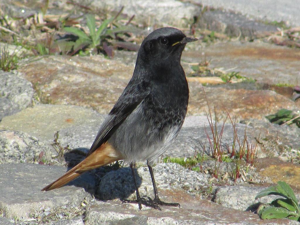 Rabirruivo preto (Phoenicurus ochruros), Black redstart - Murtosa