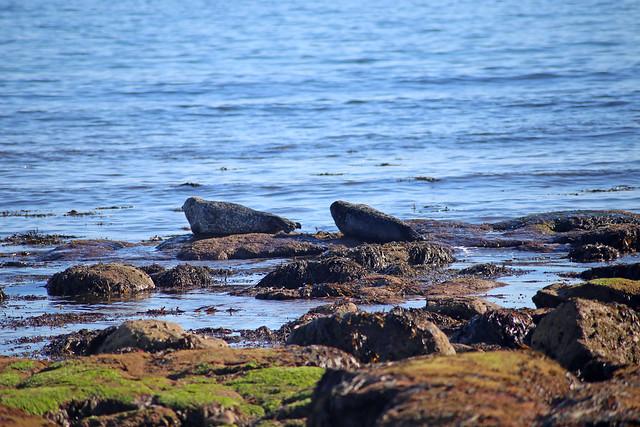 Seals near Kintradwell Links