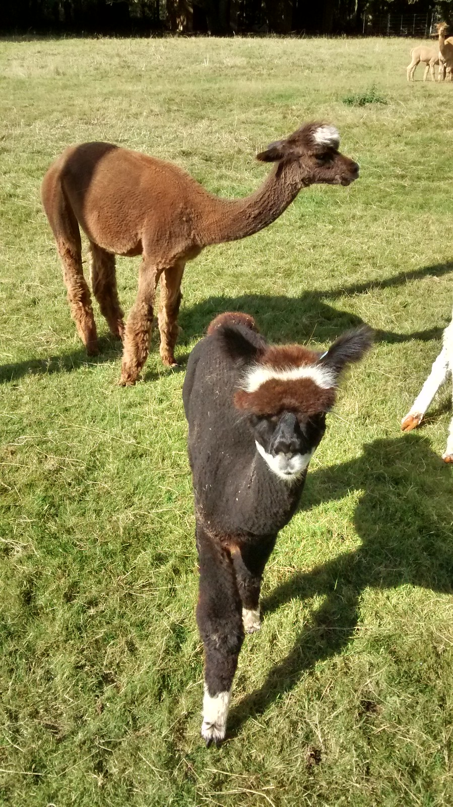 Chesham to Gt. Missenden Alpacas near Lee Green (apparently not wearing hats)