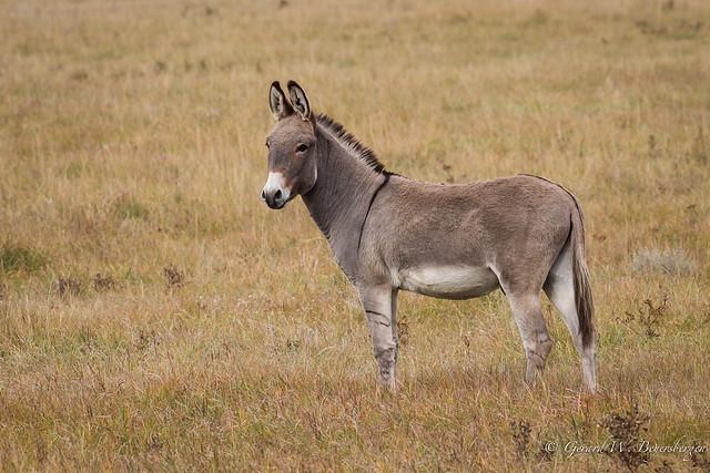 Domestic Donkey  - Something different