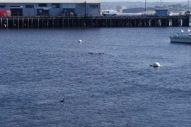 Monterey Bay Sea Otters
