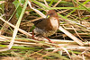 _W4A5225 Red and White Crake (Laterallus leucopyrrhus) by ajmatthehiddenhouse