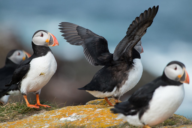 Puffins Rule !
