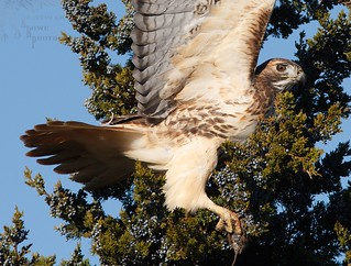 Red Tail Hawk 11_17 5   by krisinct- Thanks for 15 Million views!