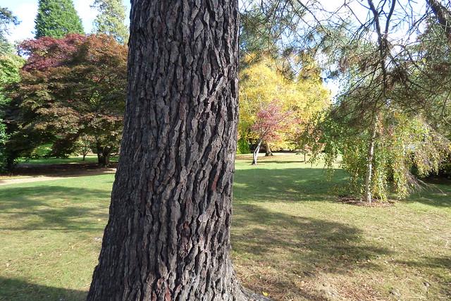 Trunk of pinus halepensis, Aleppo pine at Sheffield Park Garden, National Trust