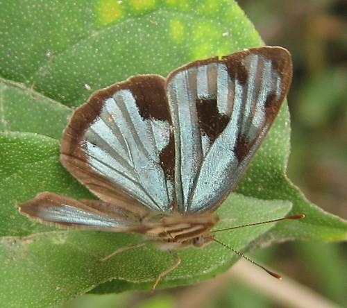 butterfly ecuador jorupe loja richhoyer urracalodge