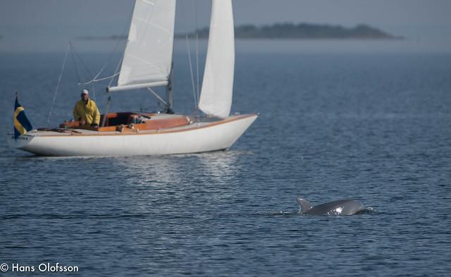 Dolphin  /Flasknosdelfiner vid Santor