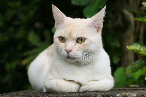 IMG_5976 Cream tabby Japanese cat 薄茶トラ猫