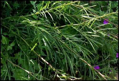 Sanguisorba tenuifolia - sanguisorbe à feuilles étroites  21874352153_a3058d8feb