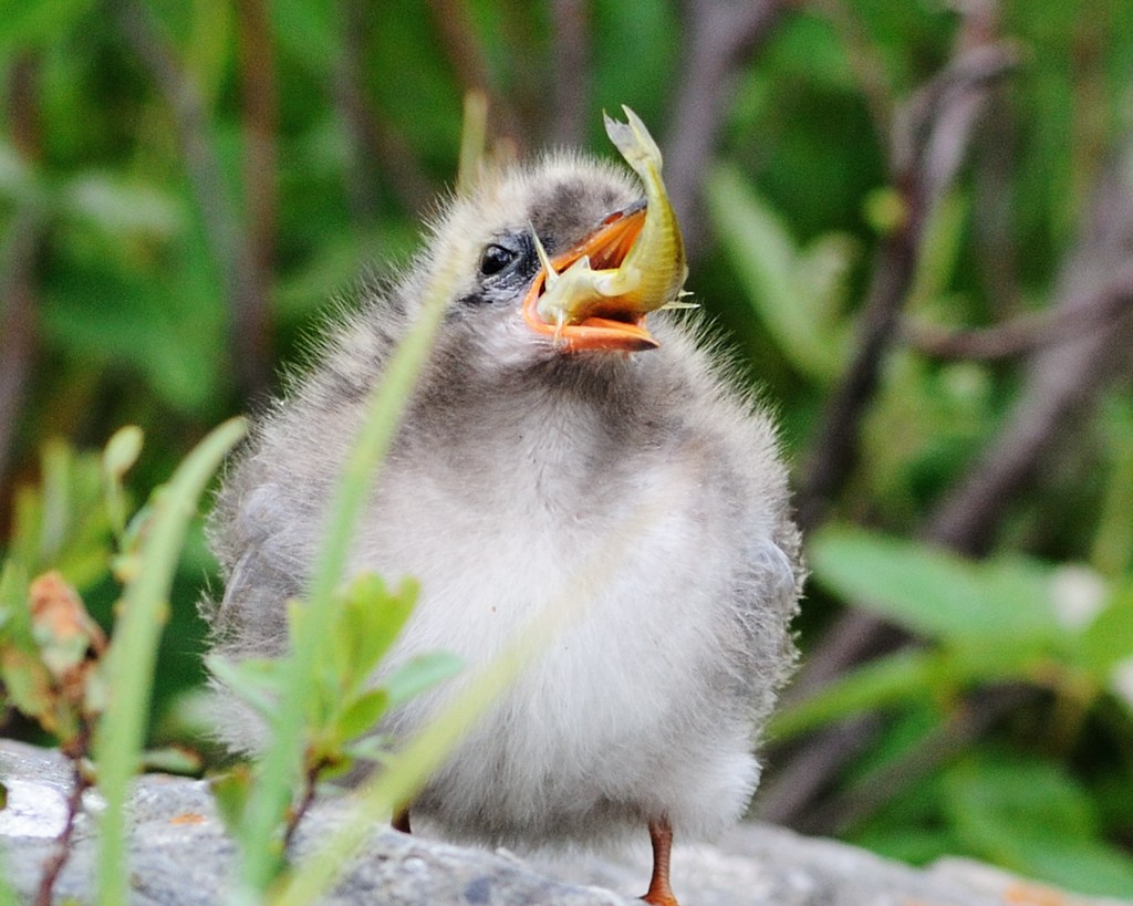 Arctic Tern Chick downing a large stickleback 01