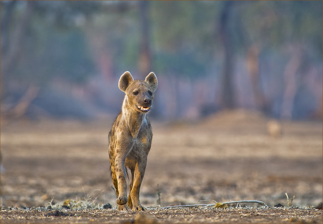 The Uninvited Guest...Advancing Spotted Hyaena...