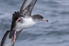 Pink-footed Shearwater by www.lirongertsman.com