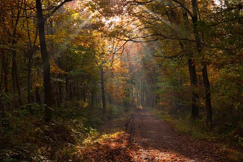 chemin path forest forêt automne autumn fall canon canoncamera canonlens canonef2470mmf4lisusm couleur colour belgium belgique depthoffield profondeurdechamp paysage landscape sunlight lumière rayons clairobscur naturallight lumièrenaturelle nature bois