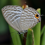 Jamides alecto dromicus (female) 淡青雅波灰蝶 (雌)