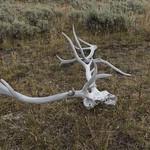 Elk Skull and Antler
