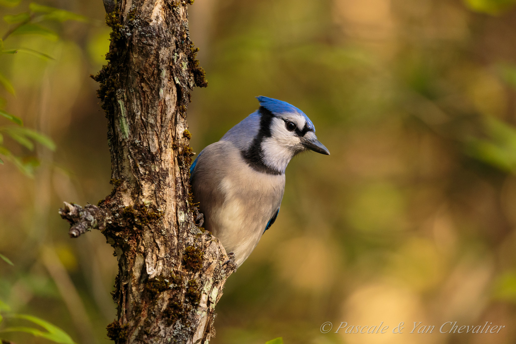 It's the blue jay laughing at us...