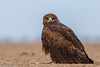 Steppe Eagle #134 by Ramakrishnan R - my experiments with light