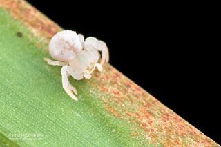 Crab spider (cf. Epicadus sp.) - DSC_7350