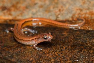 Dwarf Salamander | by Jason Folt