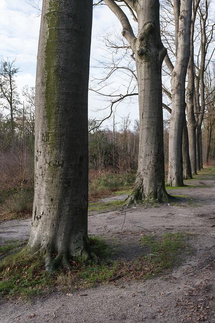 Beech trees in a row