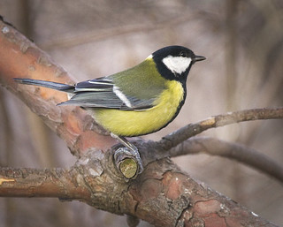 Great tit | by hedera.baltica
