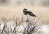 Black-chested Snake Eagle, Circaetus pectoralis, Hwange National Park, Zimbabwe by Jeremy Smith Photography