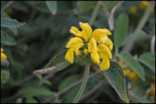 Phlomis fruticosa - sauge de Jérusalem, phlomis arbustif 21982047171_ecda00efa9