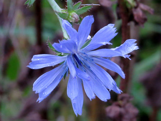 Chicory, Great Hampden | by petecollins1979