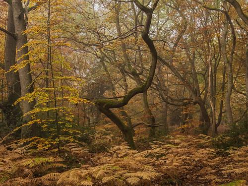 morning autumn mist tree fall misty fog forest woodland photography woods buckinghamshire foggy bucks autumnal beech burnham pollard burnhambeeches ancientwoodland cityoflondoncorporation damianward ©damianward
