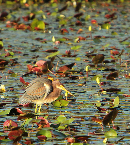 wild summer bird lana heron nature water animal louisiana colorful lily wildlife birding wading pads egrettatricolor nationalwildliferefuge lacombe nwr wader gramlich tricolored sttammanyparish bigbranchmarsh canoneosrebelt2i lanagramlich sept132015