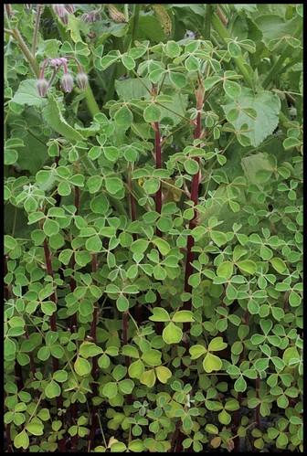 Oxalis tuberosa - oca du Pérou 22536899041_71c3a5645b